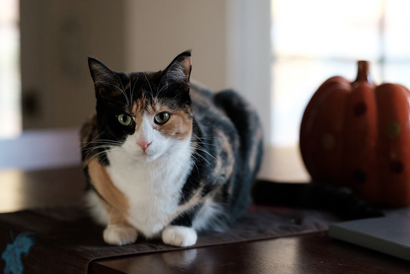 Calico cat and her pumpkin