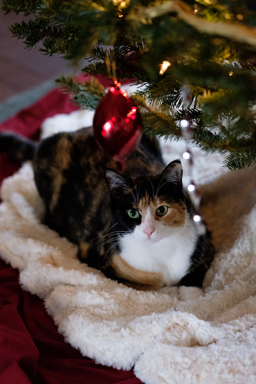 Luxie cat under the Christmas Tree.
