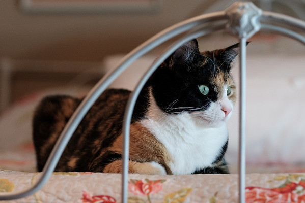 Calico cat on old iron bed