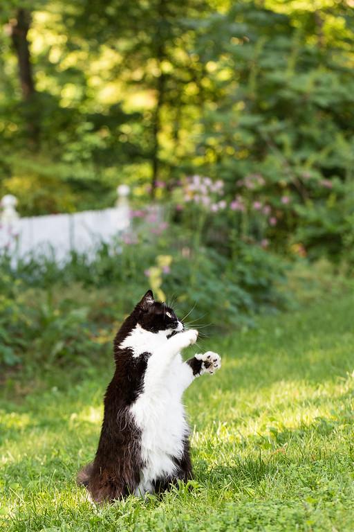 Tuxedo Cat Playing in the Yard