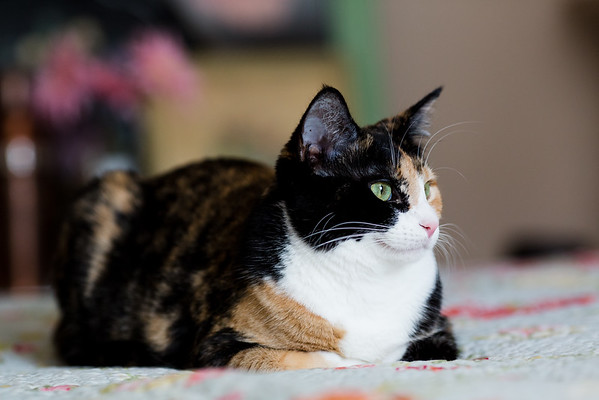Calico cat on the bed