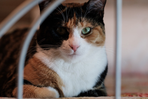 Calico cat looking through old iron bed