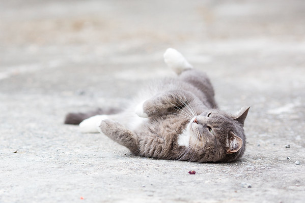 Gray cat rolling around on driveway