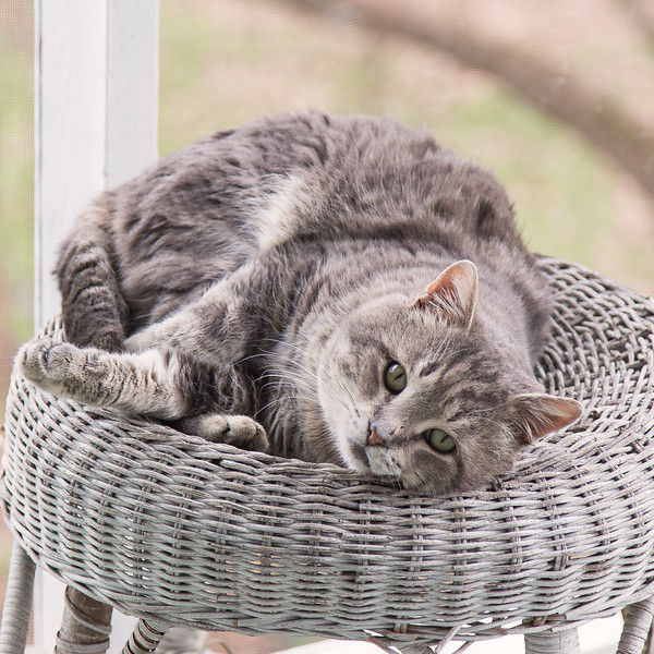 Gray tabby cat on wicker stool.
