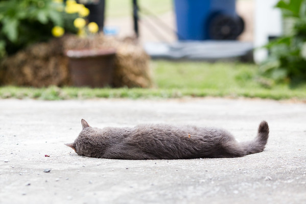 Gray Cat on Driveway