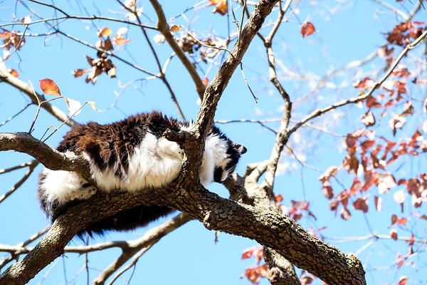Tuxedo cat in a tree with fall leaves