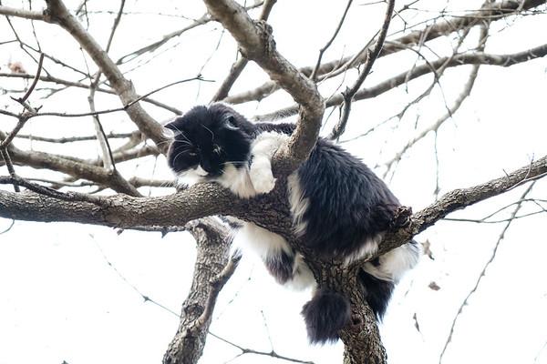 Tuxedo cat in a tree.