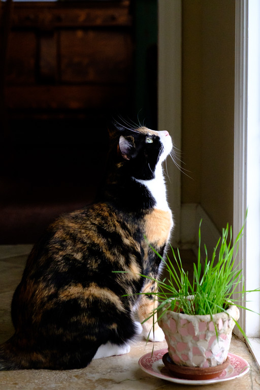 calico cat looking out windwo