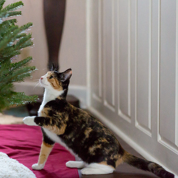 Calico Kitten and Christmas Tree