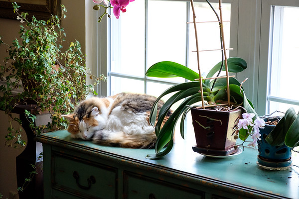 Calico cat resting by orchids