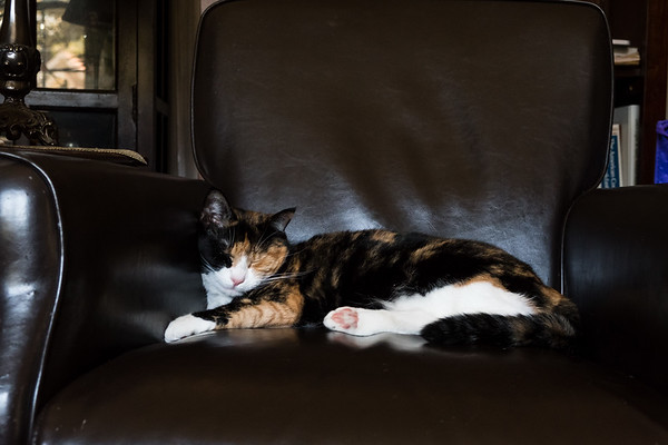 Calico cat napping