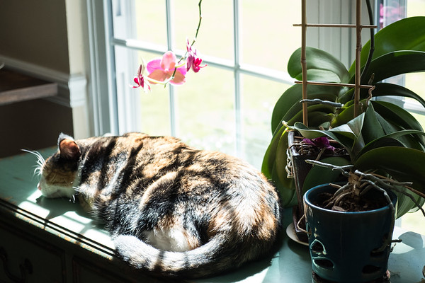 Calico cat sleeping in window light