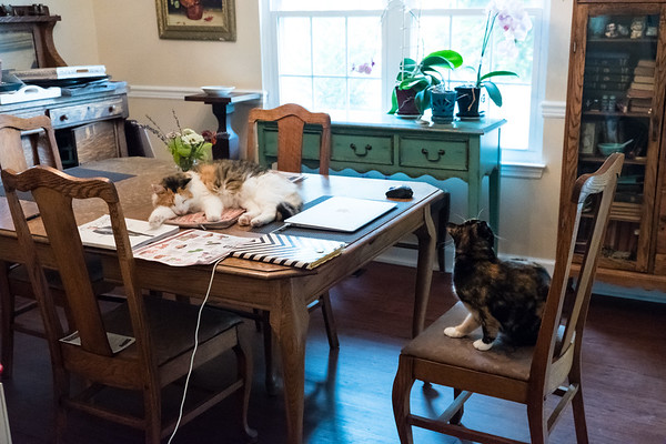 Calico cats in dining room