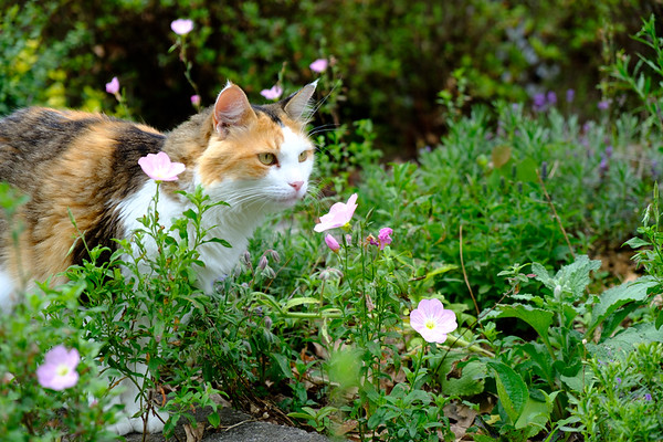 Calico Cat in garden