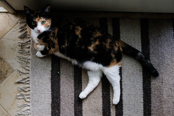 Calico cat on a rug.