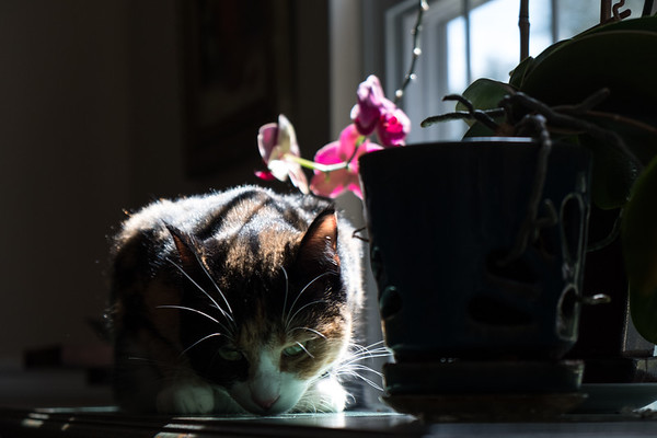 Calico cat and orchids