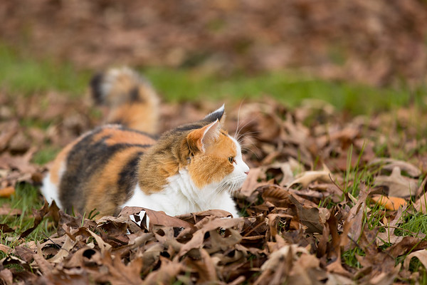 Calico cat looking at fall leaves