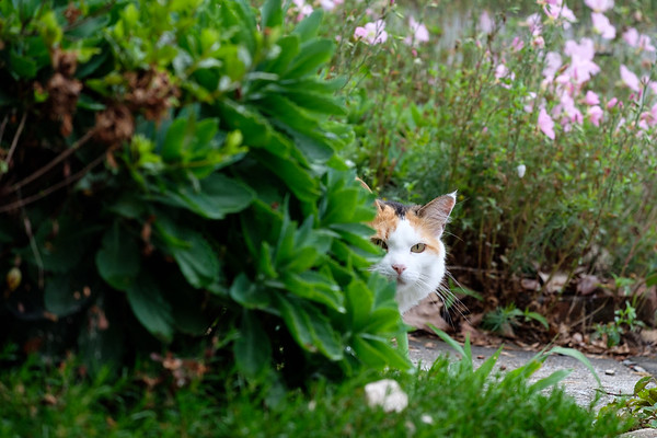 Calico cat peaking out from behind bushes
