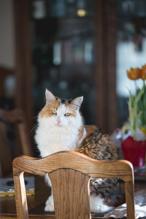 Calico Cat on a dining room table