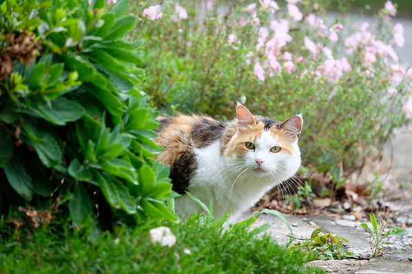 Calico cat coming out from behind bushes.
