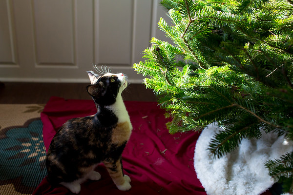 Calico kitten looking up at Christmas Tree