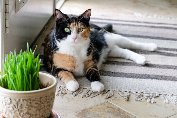 Calico cat with her cat grass
