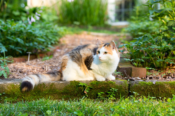 Calico cat on bricks