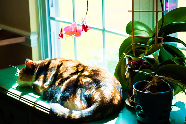 Calico cat edited with Topaz Labs