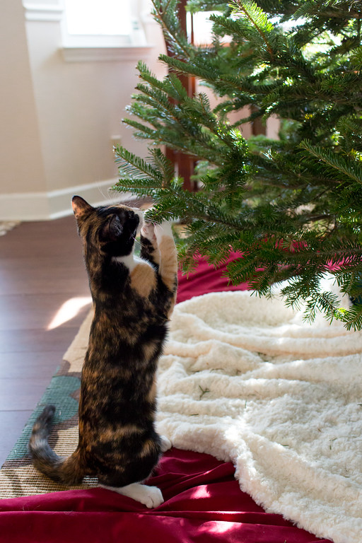 Calico cat pawing at the Christmas Tree