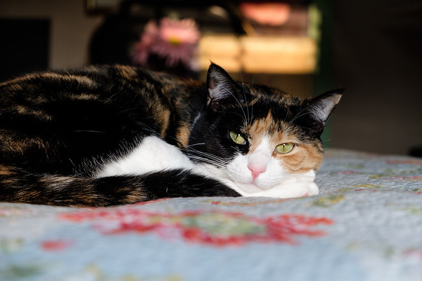 Calico cat on bed
