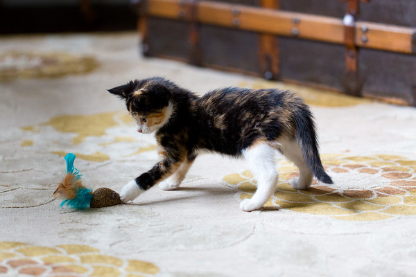 Calico kitten playing with toy