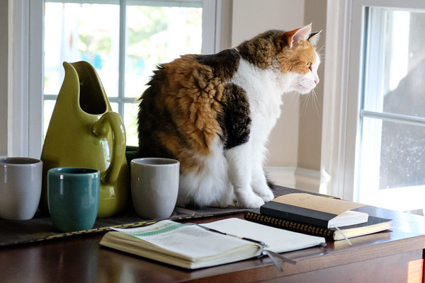 Calico cat looking out through a window with books and pottery