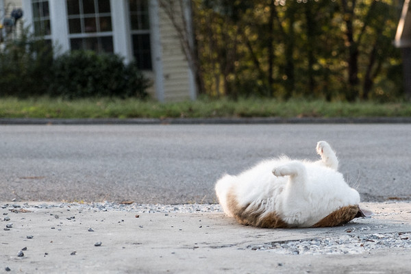 Cats and driveways - calico cat rolling on the driveway!