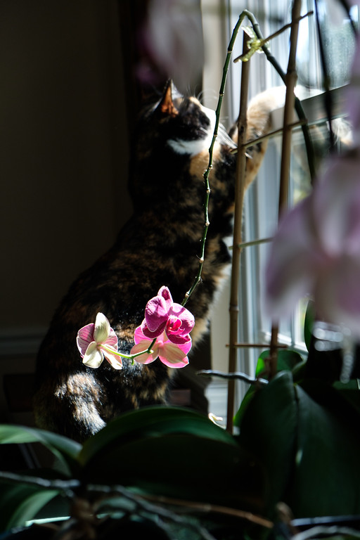 Orchid with calico cat