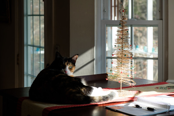 Calico cat on table with small Christmas tree