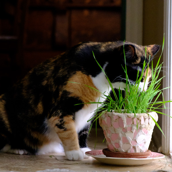 Luxie and the cat grass