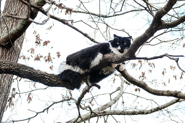 Black and white tuxedo cat in a tree