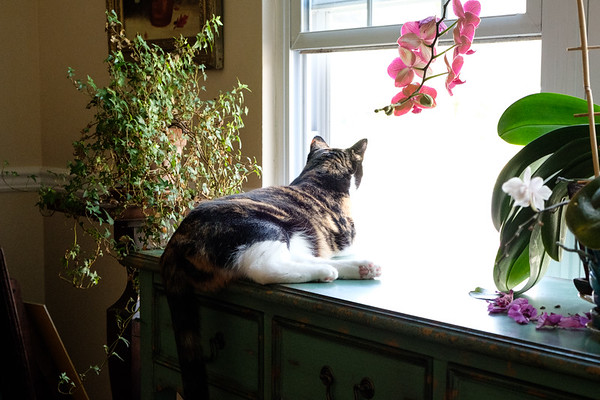Calico cat looking out through a window