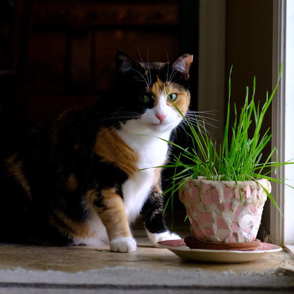Calico cat and her grass