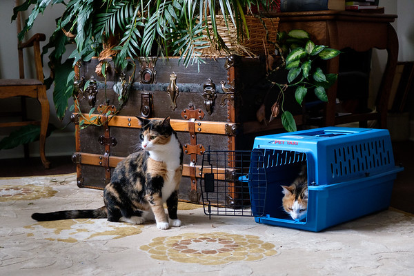 Calico cats and cat carrier