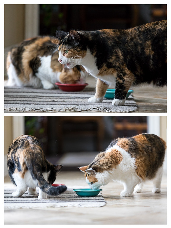 Calico cats switch bowls of their Purely Fancy Feast Filets - Tuna.