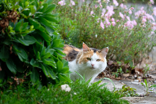 Calico cat peaking from behind bushes.