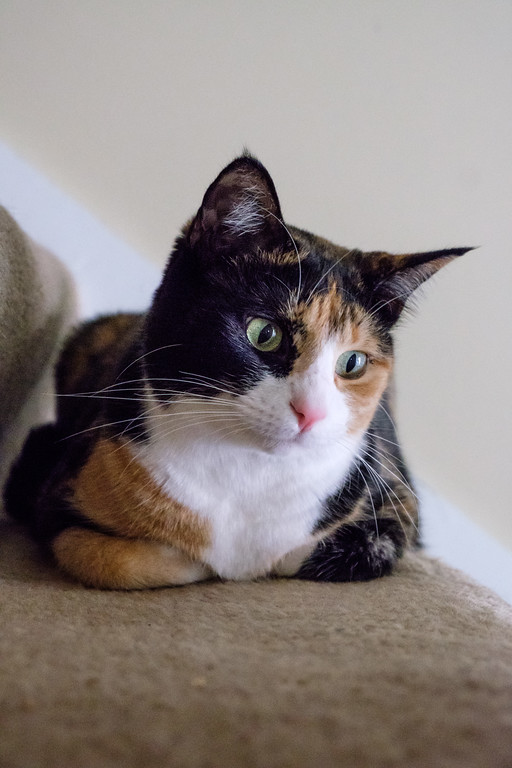 Calico cat on the stairs