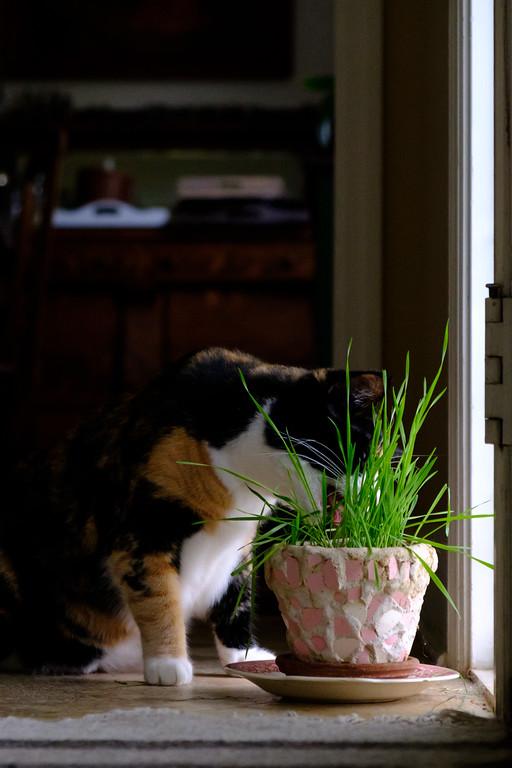 Calico cat and cat grass
