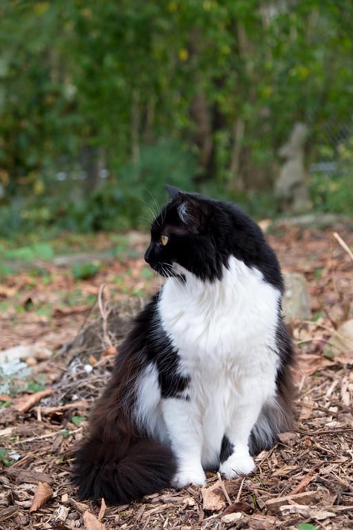 Tuxedo cat profile