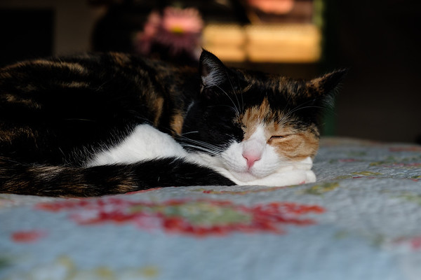 Calico cat sleeping on a bed