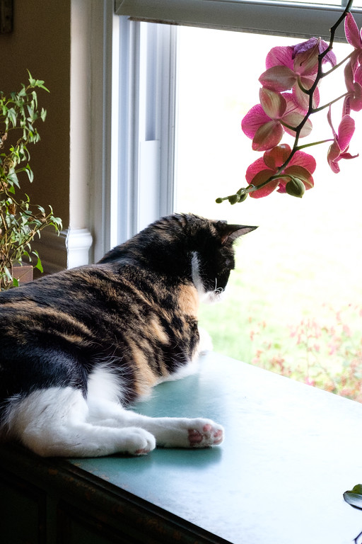Calico cat with orchids at a window