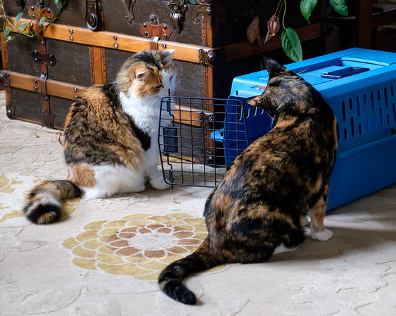 Calico cats checking out their cat carrier