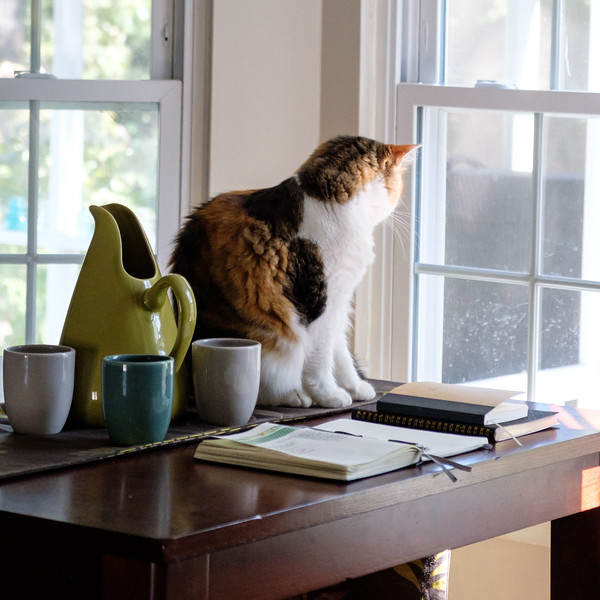 Calico cat looking out through the window