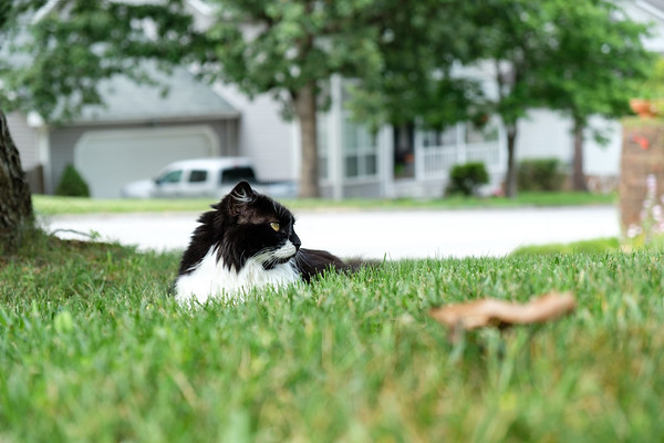 Tuxedo cat in the yard